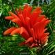 بذر درخت لوبیای شانس Erythrina lysistemon