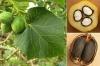 بذر درخت جاتروفا  jatropha
