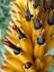 بذر آلوئه کوهستان Aloe marlothii