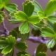 بذر  فلابلیفولیوس flabellifolius