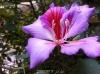 بذر درخت ارکیده هنگ کنگ صورتی bauhinia variegata