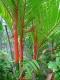 بذر نخل موم سرخ  red sealing wax palm