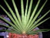 بذر نیزه ای بادبزنی Sansevieria pearsonii