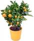 بذر نارنگی زینتی کالاموندین calamondin orange