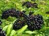 بذر آقطی elderberry