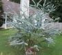 بذر اکالیپتوس دلار نقره ای eucalyptus cinerea