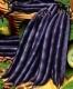 بذر لوبیا سبز بنفش purple queen bean