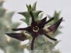 بذر کاکتوس آرونا Quaqua mammillaris