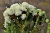 بذر گل برزیلیا سفید berzelia abrotanoides