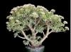 بذر ساکولنت کراسولا برگ نقره ای Crassula arborescens