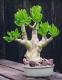 بذر ساکولنت درخت کره tylecodon paniculatus