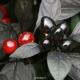 بذر فلفل مروارید سیاه Black Pearl pepper