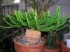 بذر افوربیا سر مدوسا Euphorbia caput-medusae