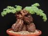 بذر شمعدانی شب بو Pelargonium triste