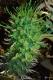 بذر افوربیا شوانلاندی euphorbia schoenlandii