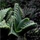 بسته 100 عددی بذر ساکولنت پوزه ببری Faucaria tigrina