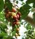 بذر بونسای انجیر خوشه ای cluster fig