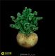 بسته 55 عددی بذر کاکتوس آلبوکا albuca namaquensis