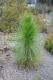 بذر کاج برگ دراز  Pinus palustris