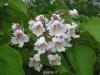 بذر درخت جوالدوزک Catalpa bignonioides