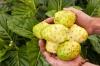 بذر توت هندی  indian mulberry