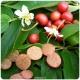 بذر درخت گیلاس جامائیکا  Muntingia calabura