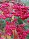 بذر بونسای گوشوارکی celastraceae euonymus