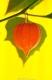 بذر فانوس ژاپنی chinese lantern