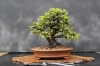 بذر بونسای نارون چینی Ulmus parvifolia