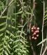 بذر درختچه بونسای فلفل صورتی schinus molle