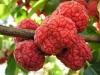 بذر درختچه توت پاییزه چینی Maclura tricuspidata