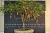 بذر درختچه تمبرهندی tamarind