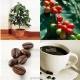 بذر درخت قهوه ARABICA COFFEE Plant