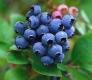 بذر بلوبری blueberry