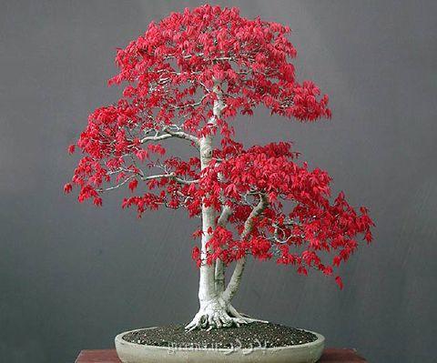 بذر - بذربونسای و درختان خزان کننده - بذر افرا برگ قرمز ژاپنی japanese red maple - زندگی سبزتر محیط تازه تر ذهن آرام تر