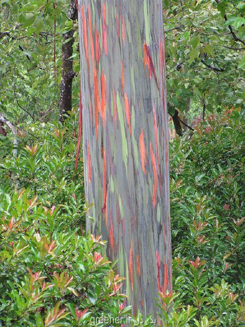 قیمت چوب درخت اکالیپتوس