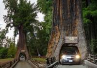 بذر درخت سکویای همیشه سبز sequoia sempervirens