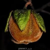 بذر سیب پشمالو Diospyros villosa