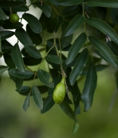 بذردرخت نیالا Nyala tree