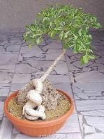 بذردرخت کلم کوهی mountain cabbage tree