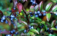 بذر هاکلبری Huckleberry