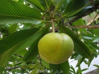 بذر درخت سیب فیل Elephant Apple