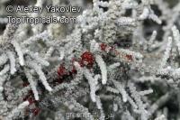 بذر بوته پلاموسا Seriphium plumosum