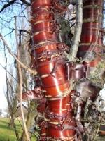 بذر توس تنه قرمز چینی Chinese Red Paper Bark Birch