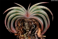 بذر آلوئه کتابی Aloe suprafoliata