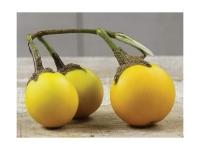 بذر بادمجان طلایی golden egg