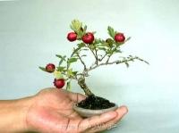بذر بونسای رالرالک زرد قرمز سیاه hawthorn