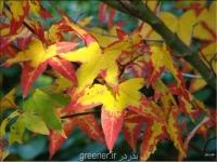 بذر افرای تایوانی Acer oliverianum