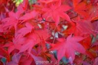 بذر افرای برگ سرخ ژاپنی acer palmatum nicholsonii