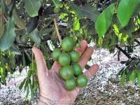 بذر درخت ماکادمیا macademia